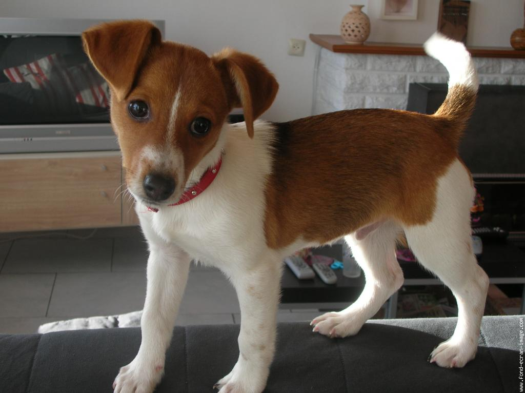 Chien Jack Russel Nain